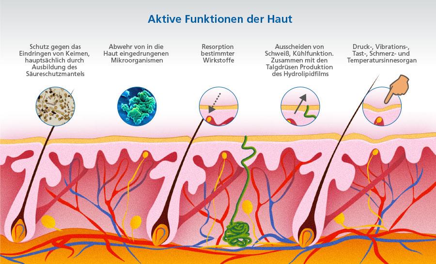 Schön Haut Anatomie Und Physiologie Fotos - Menschliche Anatomie ...